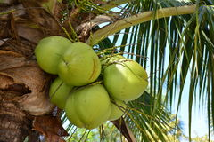 Coconut. Tree in the beach stock images