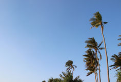 Coconut Tree in the Beach Stock Photo