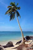 Coconut tree on a beach eroded by the ocean. Coconut tree eroded slowly by the ocean on a tropical beach Stock Images