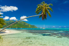 Coconut tree in a beach in Moorea Royalty Free Stock Photography
