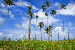 Coconut tree and beautiful nature at sunny day with cloudy blue sky background near the beach Royalty Free Stock Images