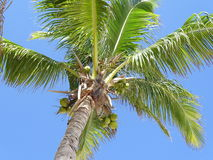 Coconut tree. Beautiful tropical coconut tree in Mexico Stock Photos