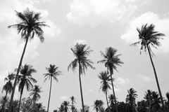 Coconut tree in black and white background Stock Photo