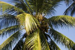Coconut tree and blue sky. Coconut tree with coconut fruit in front of blue sky Royalty Free Stock Photos