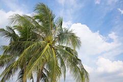The coconut tree with blue sky Stock Photo