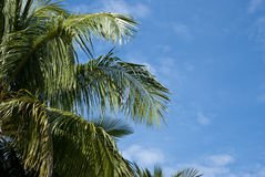 Coconut Tree and blue sky. Tropical coconut trees against the background of a blue sky Stock Photos