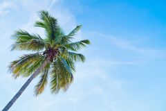 Coconut tree with blue sky royalty free stock photos