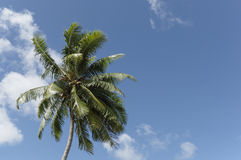 Coconut Tree - 2 Stock Photography