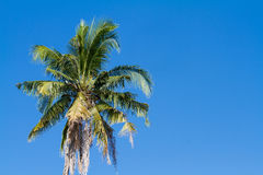 The coconut tree on blue sky background. Royalty Free Stock Photos