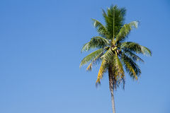 The coconut tree on blue sky background Royalty Free Stock Images