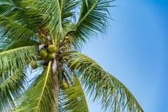 Coconut tree on blue sky Stock Image