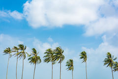 Coconut tree on blue sky Royalty Free Stock Photo