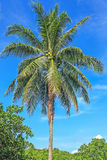 Coconut tree. And blue sky background in tropical beach stock photos