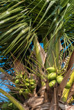 Coconut tree with blue sky background Stock Image