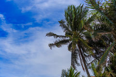 Coconut tree and blue sky at the beach. Coconut tree and blue sky at the beach, concept for background texture Stock Photo