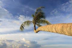 Coconut tree with blue sky Stock Photos