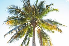 Coconut tree and blue sky. Close up Coconut tree and blue sky royalty free stock photo