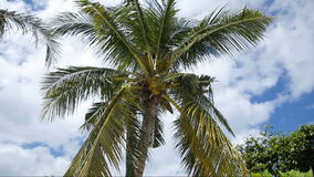 Coconut tree and blue sky with clouds stock video