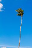 Coconut tree with blue sky Stock Image