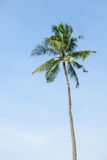 Coconut tree on blue sky Royalty Free Stock Photography