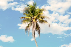 Coconut tree in blue sky Royalty Free Stock Images
