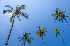 Coconut tree with blue sky Royalty Free Stock Image