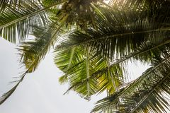 Coconut tree in blue sky. With sunshine royalty free stock images
