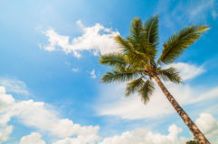 Coconut tree and a blue sky Royalty Free Stock Photos