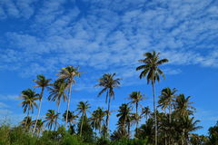 Coconut Tree & Blue Sky Royalty Free Stock Image