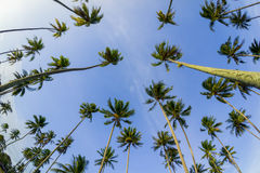 Coconut tree and blue sky Royalty Free Stock Photos