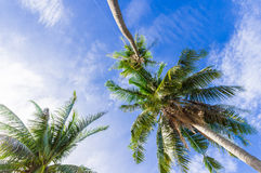 Coconut tree with blue sky Stock Images