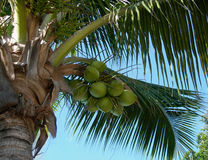 Coconut tree and bunch Stock Photography