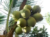 Coconut tree and bunch of fruit Royalty Free Stock Photo