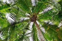 Coconut tree canopy Stock Photography
