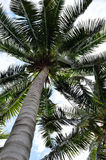 Coconut tree canopy Royalty Free Stock Images