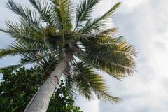 Coconut tree canopy, Nature background. Coconut tree canopy with Nature background Royalty Free Stock Photo