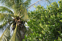 Coconut tree canopy, Nature background Royalty Free Stock Photography