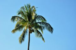 Coconut tree with clear blue sky. Tropical plant Stock Photography