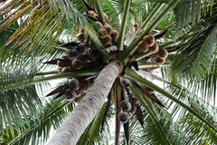 Coconut Tree. Close-up of coconut tree in Fruit and Spice Park Royalty Free Stock Images