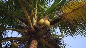 Coconut tree close-up. Palm tree against the sky. Beautiful big coconuts on a tree stock video