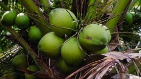Coconut tree . Royalty Free Stock Photography