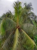 Coconut tree coconut, closeup, top view stock image