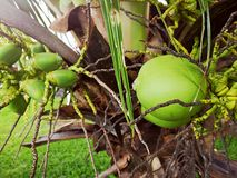Coconut on the tree royalty free stock photo