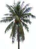 Coconut tree. Coconut tree alone hdr day royalty free stock photos