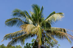 Coconut tree with coconut on blue sky background. Royalty Free Stock Image