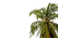 Coconut tree. Alone with text space Royalty Free Stock Photography