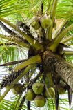 Coconut Tree with Coconuts Royalty Free Stock Photo