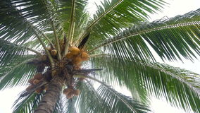 Coconut tree with coconuts. stock video