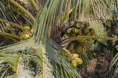 A coconut tree with coconuts Stock Image