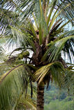 Coconut Tree with Coconuts in Sarawak Borneo Stock Photos
